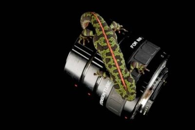 A marbled newt (Triturus marmoratus) atop a Nikkon extension lens, at the Houston Zoo.