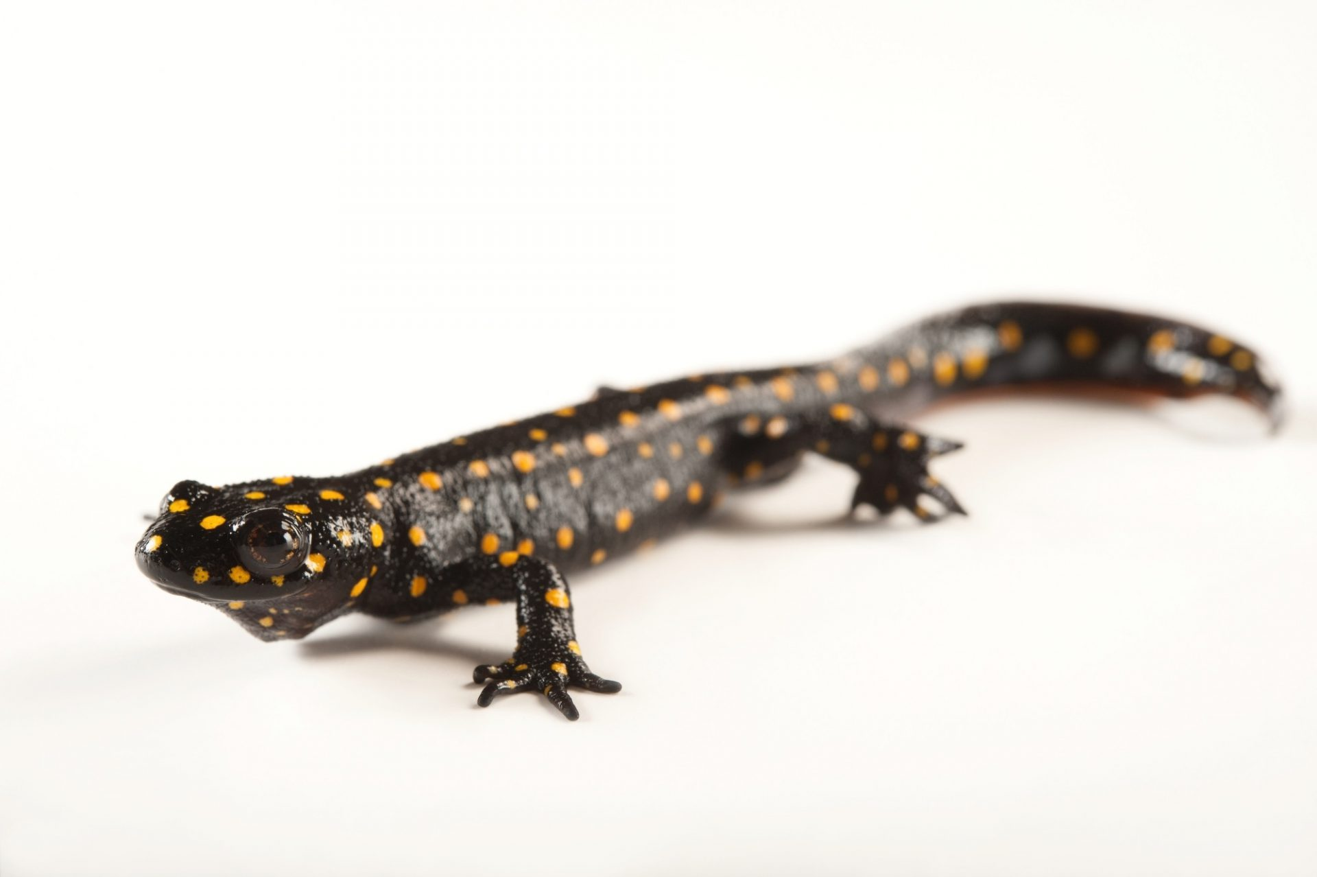 A vulnerable Strauch's spotted newt (Neurergus strauchii) at the Sedgwick County Zoo in Wichita, Kansas.