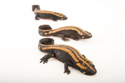 Picture of Laos warty newts (Paramesotriton laoensis) at the National Mississippi River Museum and Aquarium in Dubuque, Iowa.