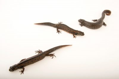 Picture of Danube crested newts (Triturus dobrogicus) at the National Mississippi River Museum and Aquarium in Dubuque, Iowa.