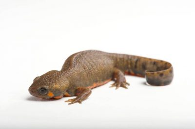 Picture of a Chuxiong fire-bellied newt (Cynops cyanurus chuxiongensis) at the St. Louis Zoo.