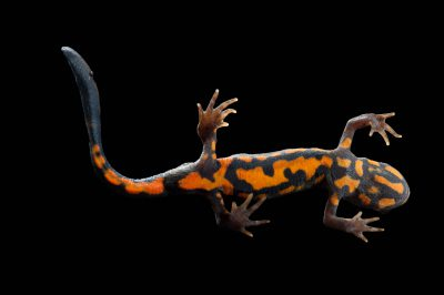 Picture of the underside of a blue-tailed fire-bellied newt (Cynops cyanurus.)
