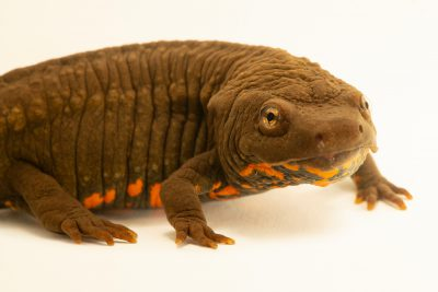 Photo: An endangered Guangxi warty newt (Paramesotriton guangxiensis) at the Moscow Zoo.