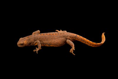 Photo: Female banded newt (Triturus vittatus ophryticus) at the Moscow Zoo.