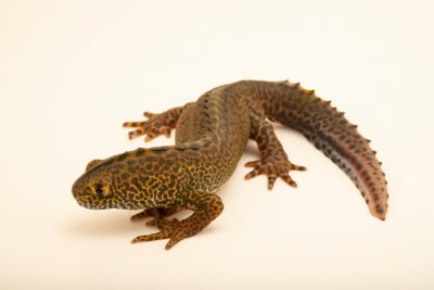 Photo: Male banded newt (Triturus vittatus ophryticus) at the Moscow Zoo.