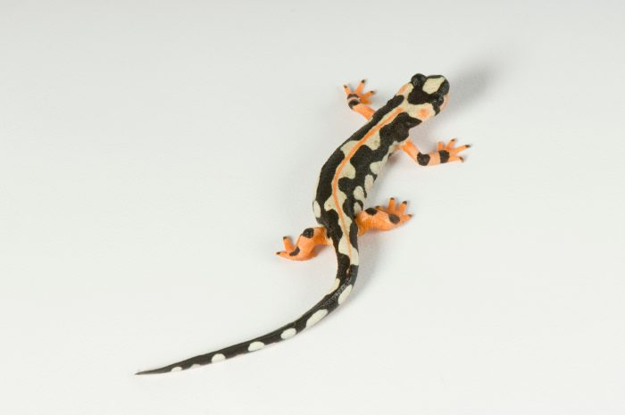 Photo: A kaiser spotted newt from Iran (Neurergus kaiseri) from Conservation Fisheries.