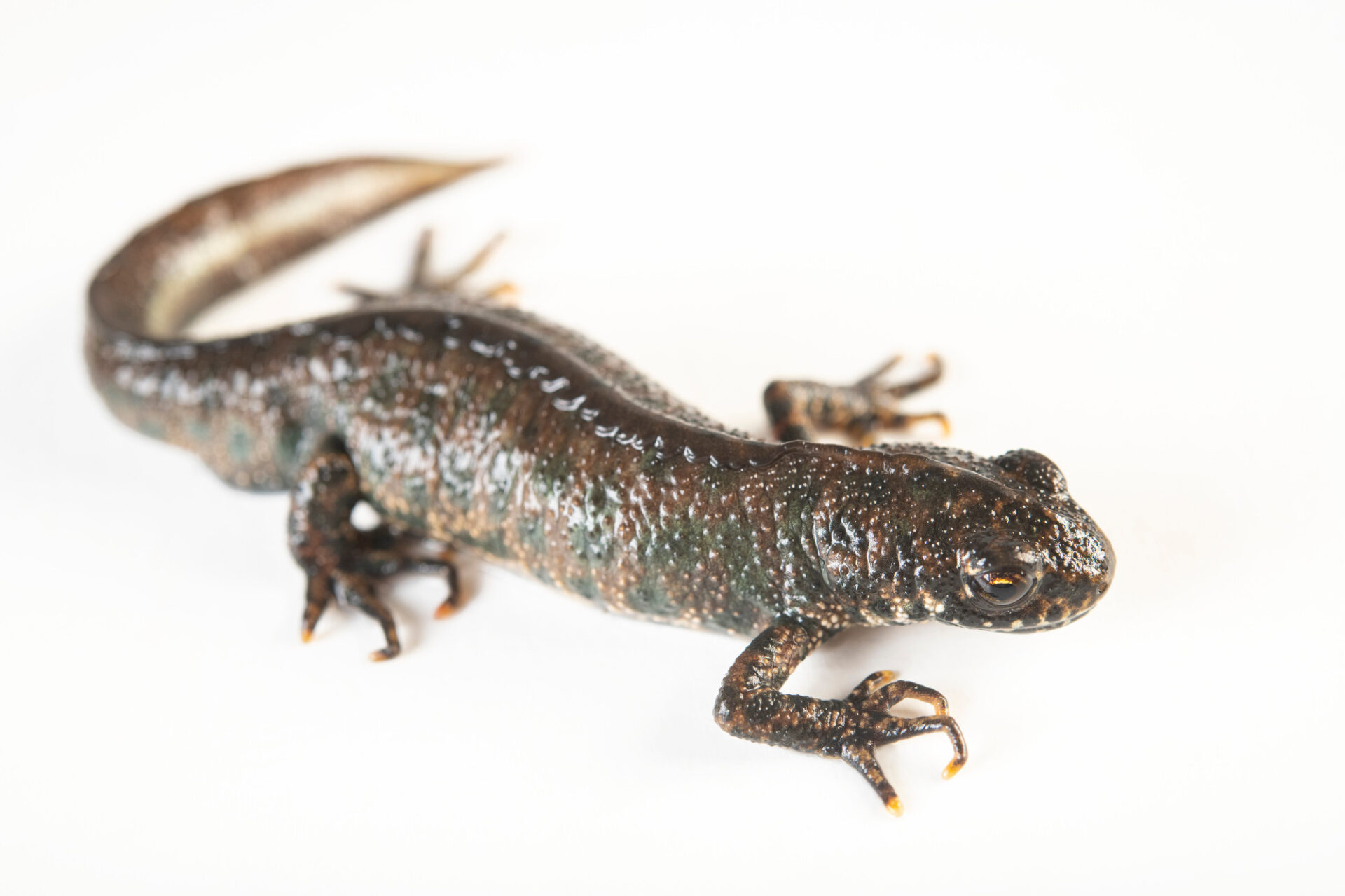 Photo: A Balkan crested newt (Triturus ivanbureschi) from a private collection.