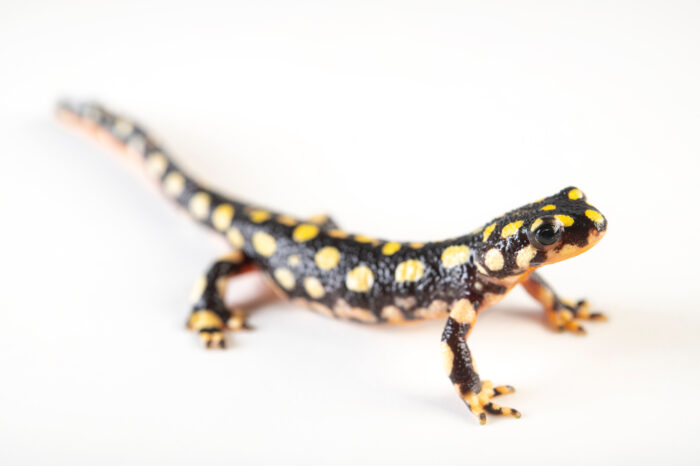 Photo: A vulnerable, yellow-spotted newt (Neurergus crocatus) from a private collection.
