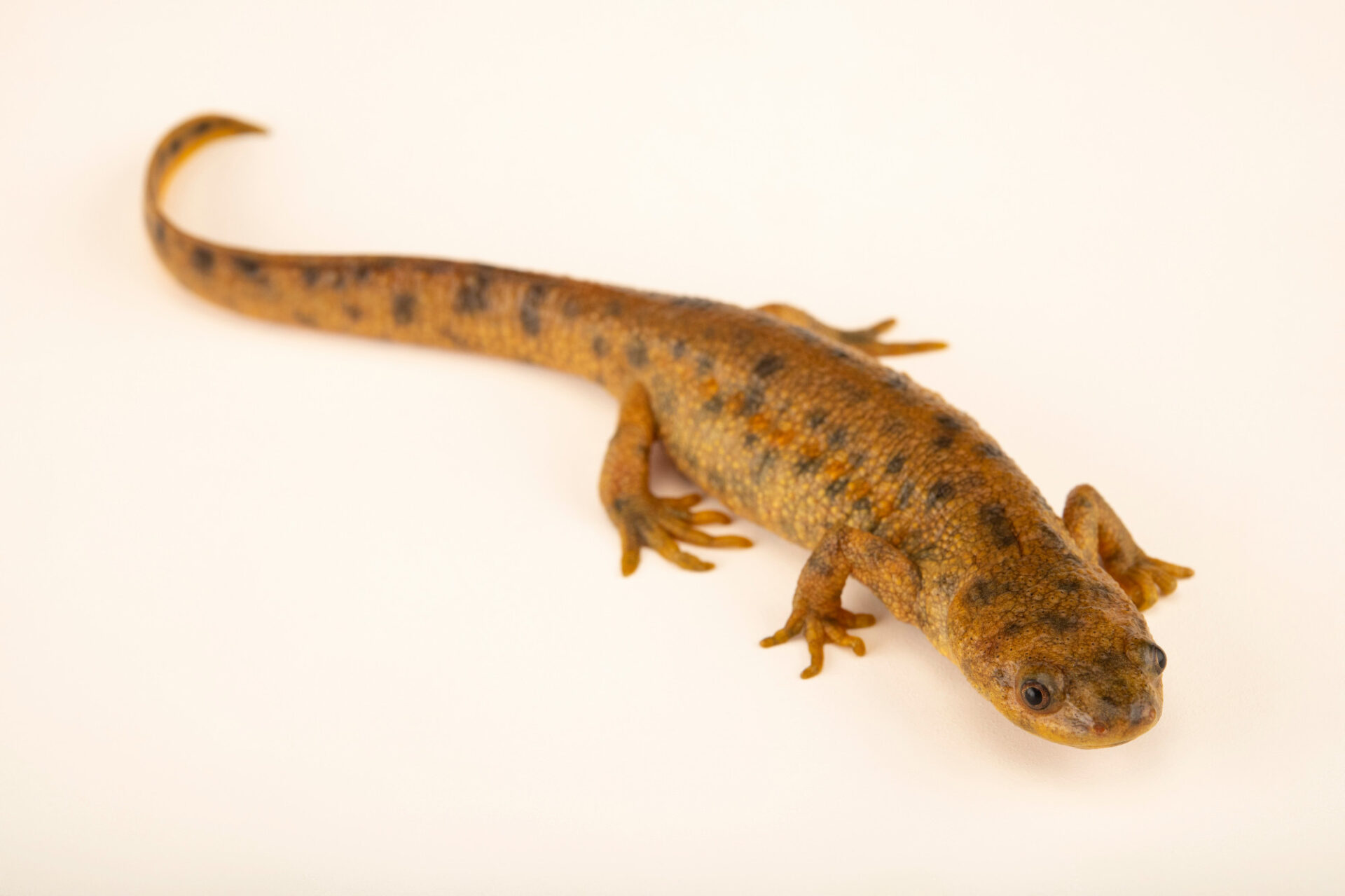 Photo: An Algerian ribbed newt (Pleurodeles nebulosus) at Aquarium Berlin.