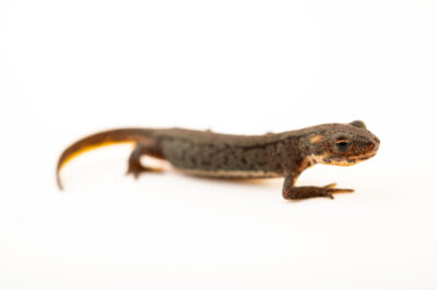 Photo: A juvenile banded newt (Ommatotriton nesterovi) from a private collection.