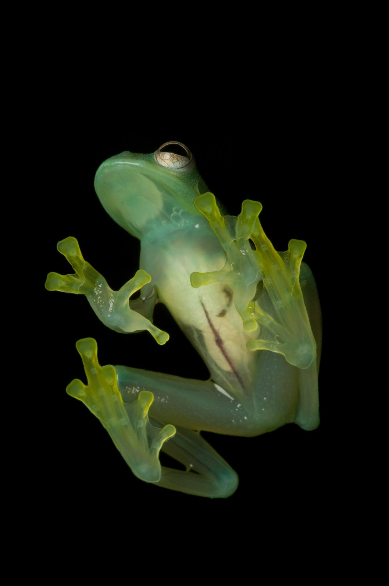 Grainy Cochran frog (Cochranella granulosa), a species of glass frog, at Henry Vilas Zoo in Madison, WI.