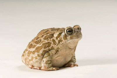 A Great Plains toad (Anaxyrus or Bufo cognatus) at the Phoenix Zoo.