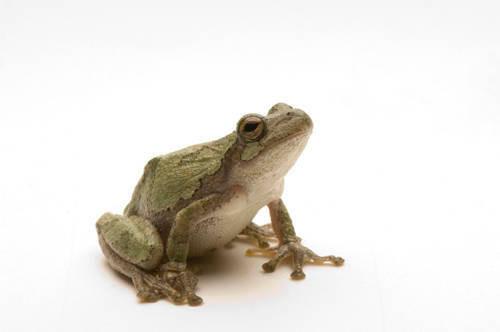 A Cope's treefrog (Hyla chrysoscelis) caught in the wild near Dunbar, Nebraska.