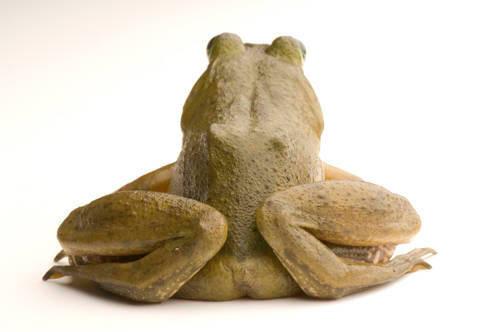 An American bullfrog (Lithobates catesbeiana) caught in the wild in Nebraska.
