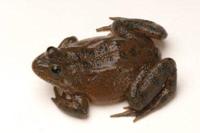Vulnerable (IUCN) Oregon spotted frog (Rana pretiosa) at the Sunriver Nature Center in Deschutes County, OR.