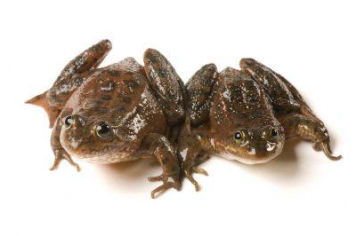 Vulnerable (IUCN) Oregon spotted frogs (Rana pretiosa) at the Sunriver Nature Center in Deschutes County, OR.