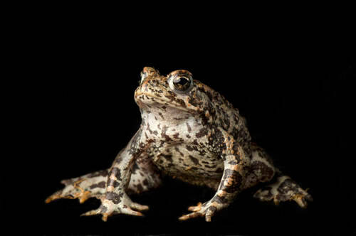 Western toad (Anaxyrus boreas) at the Sunriver Nature Center in Deschutes County, OR.