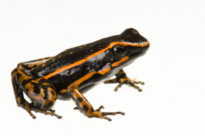 Three-striped poison dart frog (Ameerega trivittata) from a private collection.