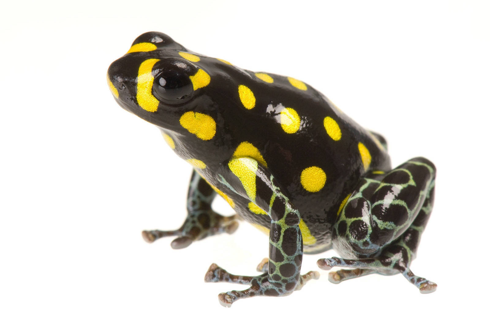 Photo: Brazil poison frog (Ranitomeya vanzolinii) from a private collection.