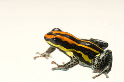 A rare Peruvian dart frog species (Ranitomeya ulkarri) from a private collection.