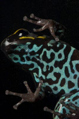 A sky-blue poison frog (Hyloxalus azureiventris) from a private collection.