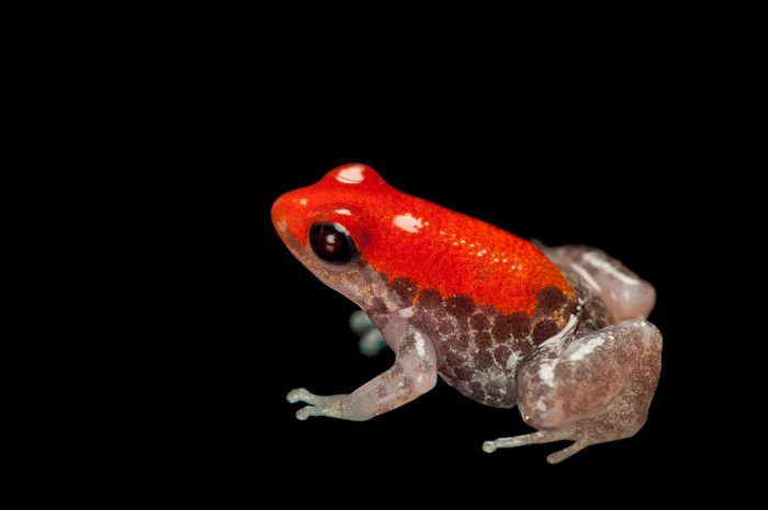 Light phase or albino red-backed poison frog (Ranitomeya reticulata) from a private collection.