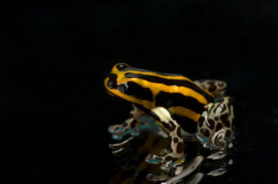 The orange morph of a Pasco poison frog (Ranitomeya lamasi) from a private collection.