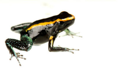 A narrow-banded morph of a Kokoe poison frog (Phyllobates aurotaenia) from a private collection.