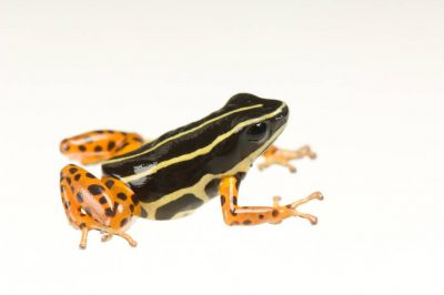 A Rio Madeira poison frog (Adelphobates quinquevittatus) from a private collection.