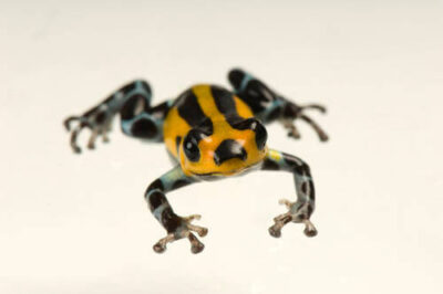 The standard morph of a Pasco poison frog (Ranitomeya lamasi) from a private collection.
