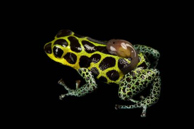 A male mimic poison frog (Ranitomeya imitator) with a single tadpole on his back, from a private collection.