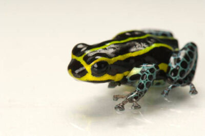 The green-legged morph of a Pasco poison frog (Ranitomeya lamasi) from a private collection