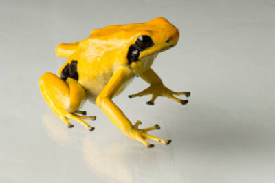 Matecho morph of a dyeing dart frog (Dendrobates tinctorius) from a private collection.