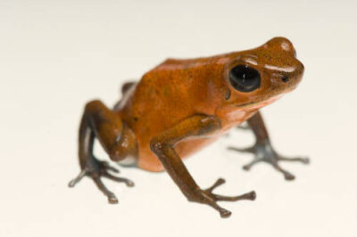Picture of an Almirante morph of a strawberry poison frog (Oophaga pumilio) from a private collection.