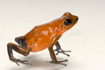 Picture of a Almirante morph of a strawberry poison frog (Oophaga pumilio) from a private collection.