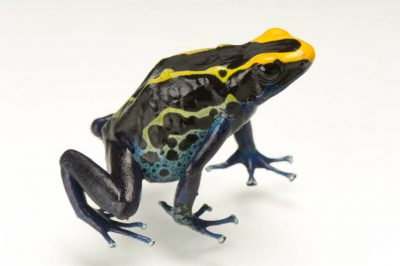 Cobalt morph of a dyeing poison frog (Dendrobates tinctorius) from a private collection.