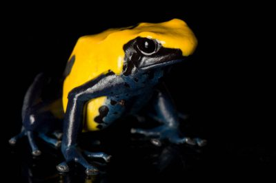 Citronella morph of a dyeing poison frog (Dendrobates tinctorius) from a private collection.