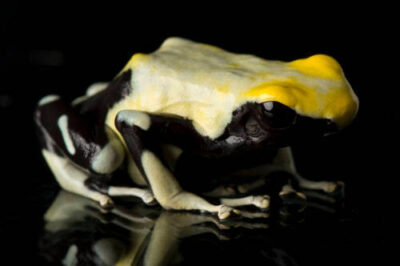 Yellow-backed morph of a dyeing poison frog (Dendrobates tinctorius) from a private collection.
