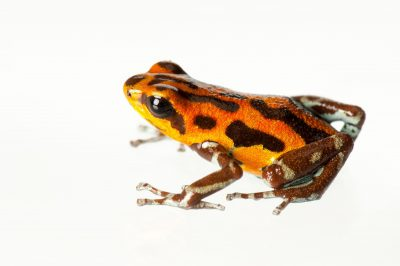 Picture of a Rio Branco morph of a strawberry poison frog (Oophaga pumilio) from a private collection.