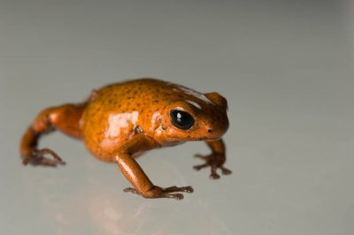 Picture of a Bri Bri morph of a strawberry poison frog (Oophaga pumilio) from a private collection.