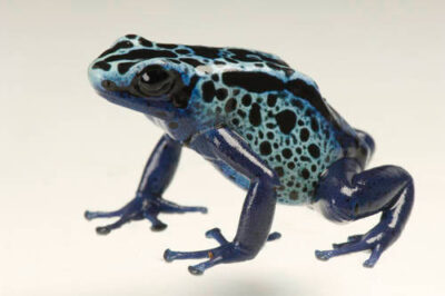 New River morph of a dyeing poison frog (Dendrobates tinctorius) from a private collection.