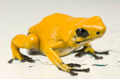 100% orange morph of a splash-backed poison frog (Adelphobates galactonotus) from a private collection.
