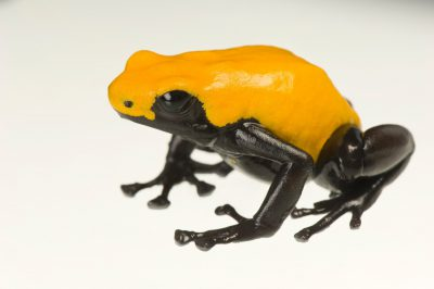 75% yellow morph of a splash-backed poison frog (Adelphobates galactonotus) from a private collection.