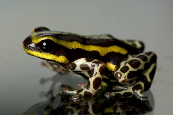 A Panama morph of the Pasco poison frog (Ranitomeya lamasi) from a private collection.