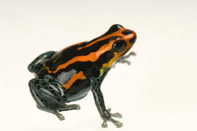 A red Amazonicus poison frog (Ranitomeya amazonica) from a private collection.
