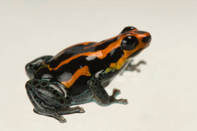 A red Amazonicus poison frog (Ranitomeya amazonica), Old Line morph from a private collection.