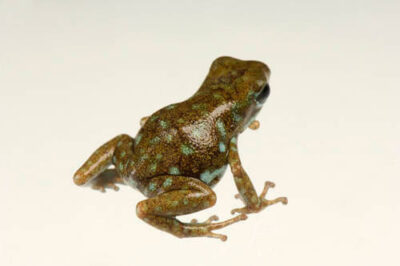 An endangered polka-dot poison frog (Oophaga arborea) from a private collection.