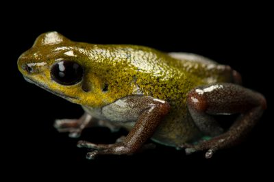 Picture of a bruno morph of a strawberry poison frog (Oophaga pumilio) from a private collection.