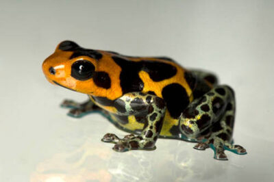 A mimic poison frog (Ranitomeya imitator intermedius) from a private collection.