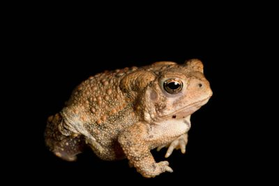 Dwarf American toad (Bufo americanus charlesmithi) from a private collection.